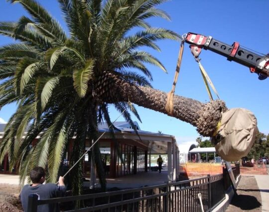 Palm Tree Removal-Fresno Tree Trimming and Stump Grinding Services-We Offer Tree Trimming Services, Tree Removal, Tree Pruning, Tree Cutting, Residential and Commercial Tree Trimming Services, Storm Damage, Emergency Tree Removal, Land Clearing, Tree Companies, Tree Care Service, Stump Grinding, and we're the Best Tree Trimming Company Near You Guaranteed!