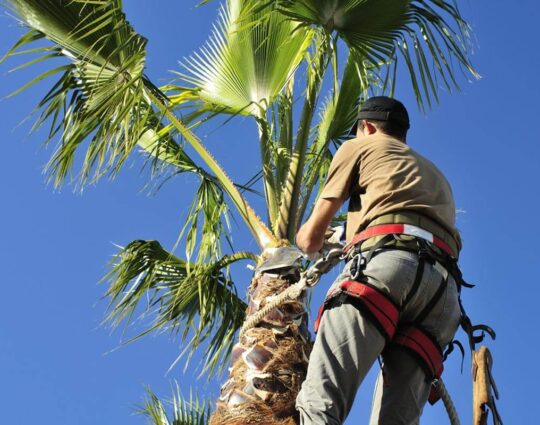 Palm Tree Trimming-Fresno Tree Trimming and Stump Grinding Services-We Offer Tree Trimming Services, Tree Removal, Tree Pruning, Tree Cutting, Residential and Commercial Tree Trimming Services, Storm Damage, Emergency Tree Removal, Land Clearing, Tree Companies, Tree Care Service, Stump Grinding, and we're the Best Tree Trimming Company Near You Guaranteed!