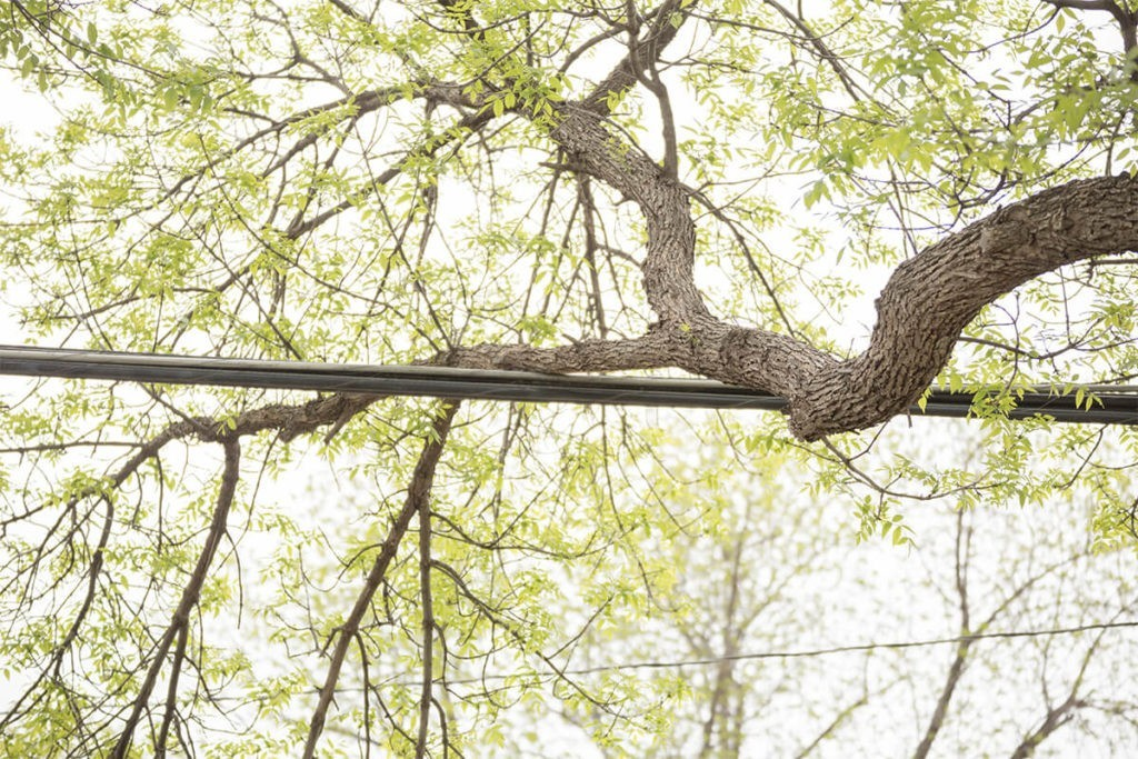 Tree-Bracing-Cabling-Fresno Tree Trimming and Stump Grinding Services-We Offer Tree Trimming Services, Tree Removal, Tree Pruning, Tree Cutting, Residential and Commercial Tree Trimming Services, Storm Damage, Emergency Tree Removal, Land Clearing, Tree Companies, Tree Care Service, Stump Grinding, and we're the Best Tree Trimming Company Near You Guaranteed!